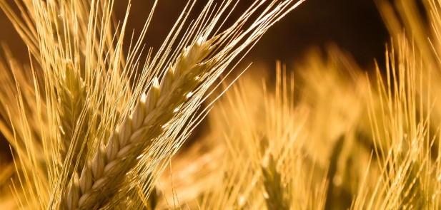 Wheat-Nature