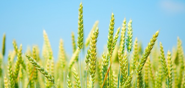 wheat-green-1600x1200